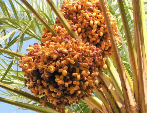 Palmen winterfest machen – So überwintern Ihre Palmen
